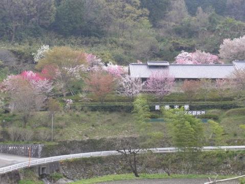 20110416桜吹雪の芋峠から吉野山1297