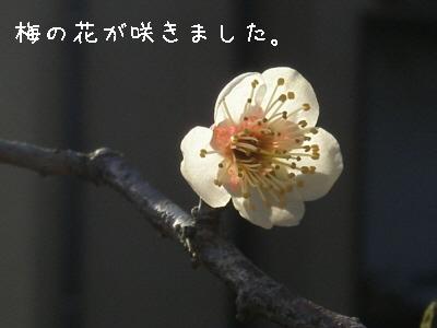 梅、開花♪