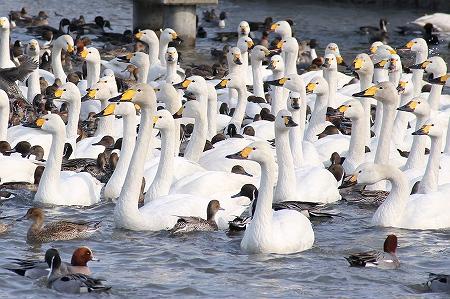 白鳥の群れが…