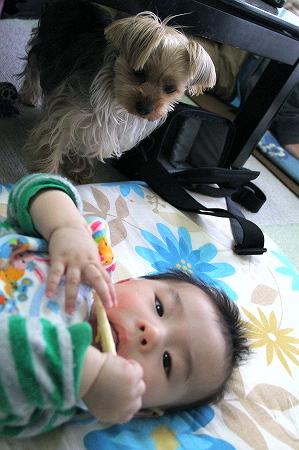 ほじゃ、赤ちゃんせんべい食べてます。