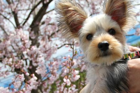 桜とまりお