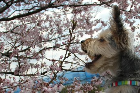 まりお、桜をぱくり!