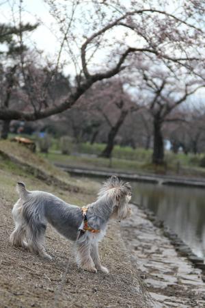 桜見物?もこ
