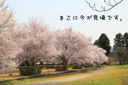 桜、見頃です。