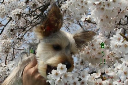 桜を食う!!