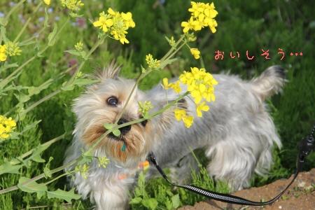 菜の花、おいしそう…