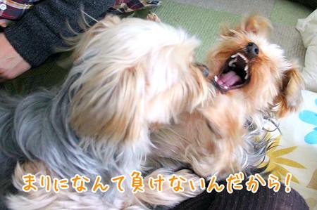 ココアちゃん「まりになんて負けない!」