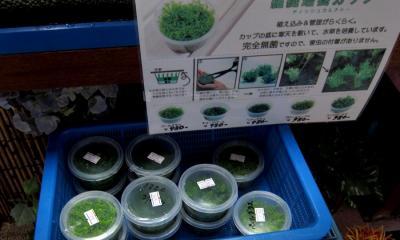寒天培養水草