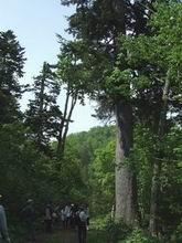 ビッキの木