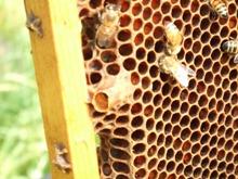 女王バチの巣