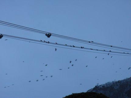 ケーブルにとまるカラスの大群