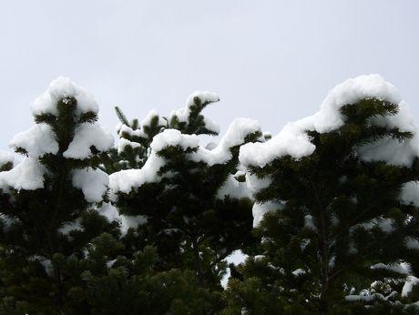 エゾマツと雪