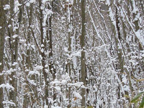 ミズナラの林と雪