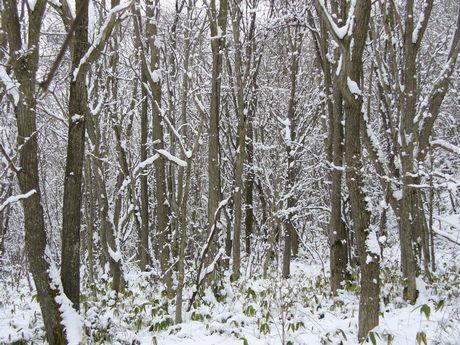 ミズナラの林と雪の世界