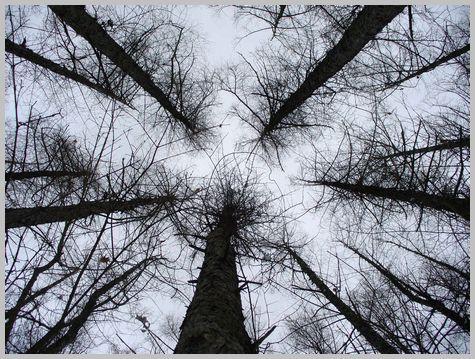 カラマツの林1