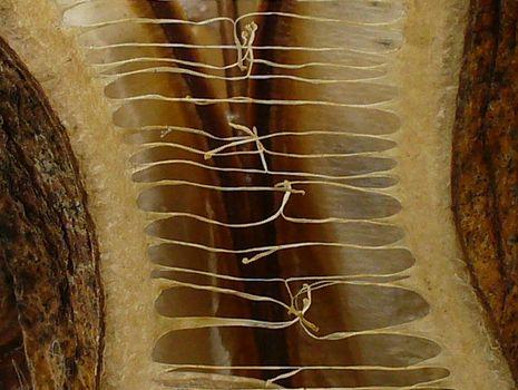 オオウバユリの実の中間部分
