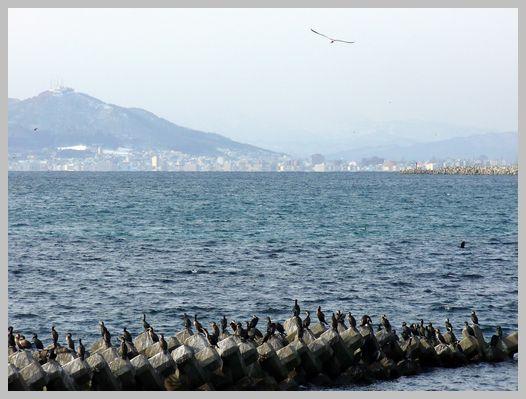 函館山と「うみう」の群れ1