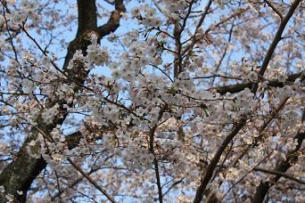 2011桜 015-2