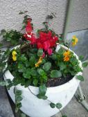 クリスマス白鉢2011