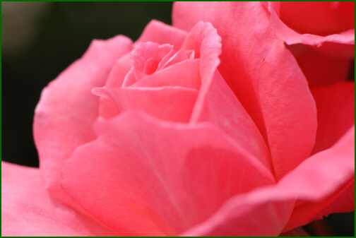 締めの春バラ