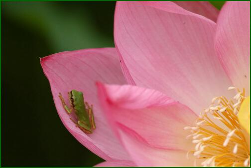 蓮の花とカエル
