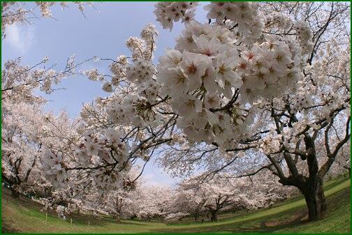 間に合った桜