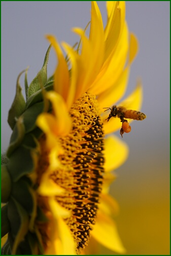ひまわり&ミツバチ