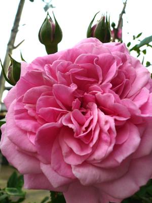 つるバラ2007年5月ー1