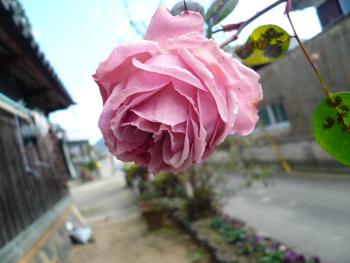 つるバラ2007年1月
