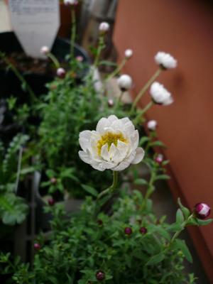 花かんざし1.19