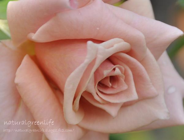 薔薇 テンダー