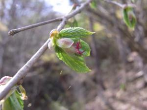 ツノハシバミ雌花 クリックで拡大