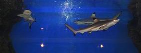 サメ君たち