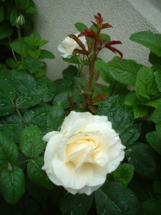吐息を白い薔薇に変えて