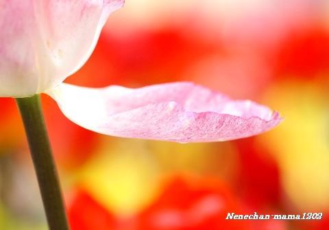 花びらちゅうりっぷ