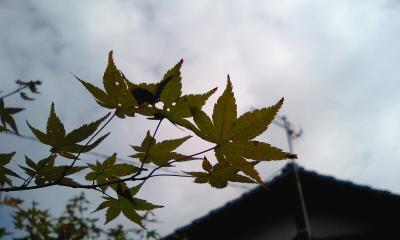 まだまだ紅葉には・・・@築城祖母宅庭
