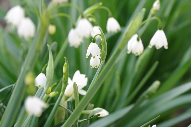スズラン水仙のお花