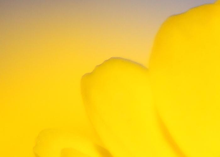 クリサンセマム・ムルチコレ  (Chrysanthemum  multicaule)