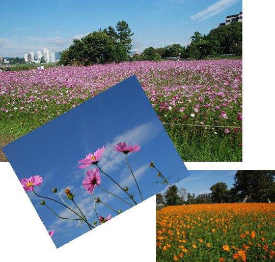 2011・11・12コスモス畑1