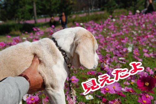 2011・11・12コスモス畑3