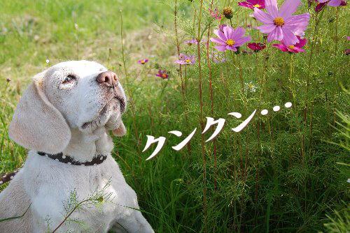 2011・11・12コスモス畑2