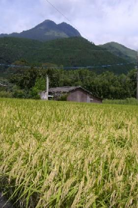 湯布院岳と稲穂