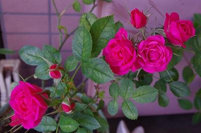 s-mini薔薇