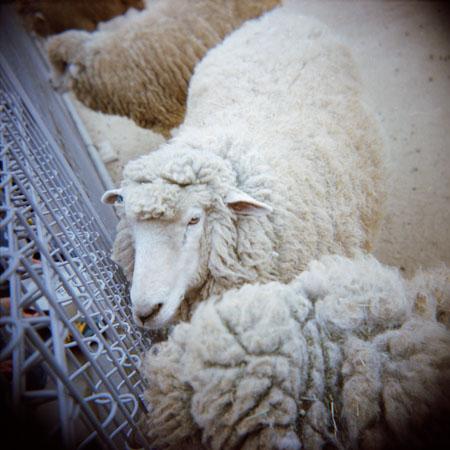 08_sheep.jpg