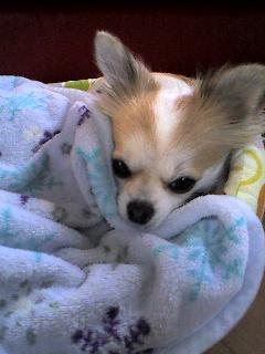 毛布にすっぽり白さん