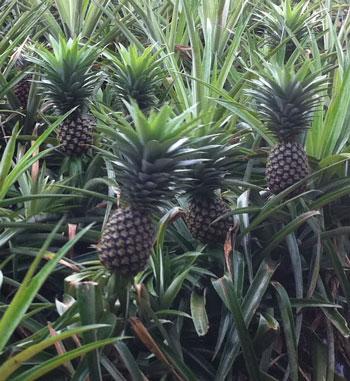 パイナップル祭り