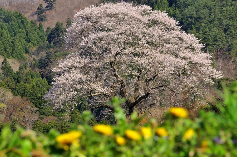 種まき桜タンポポ添え