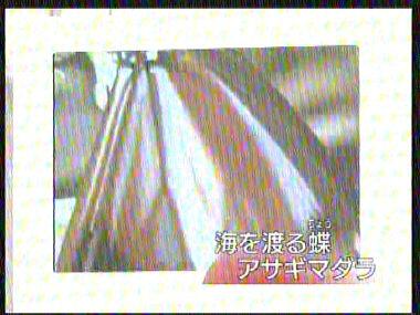 asagimadara1.jpg