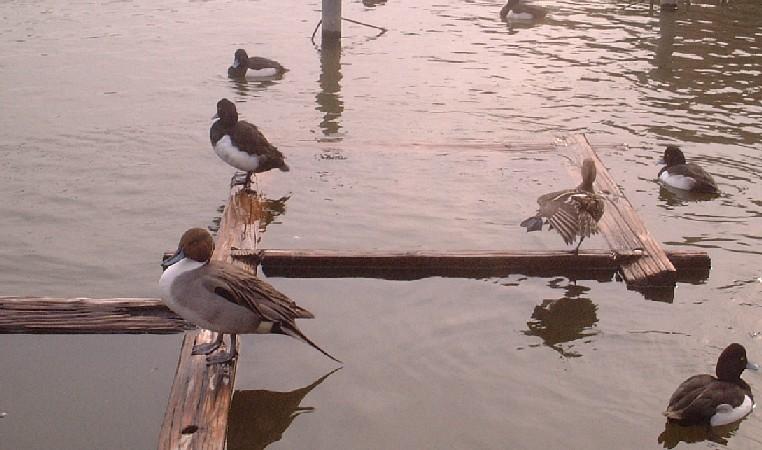 不忍池のカモ