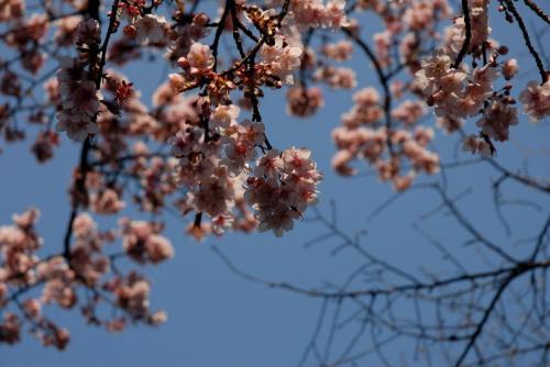 上野公園の寒桜